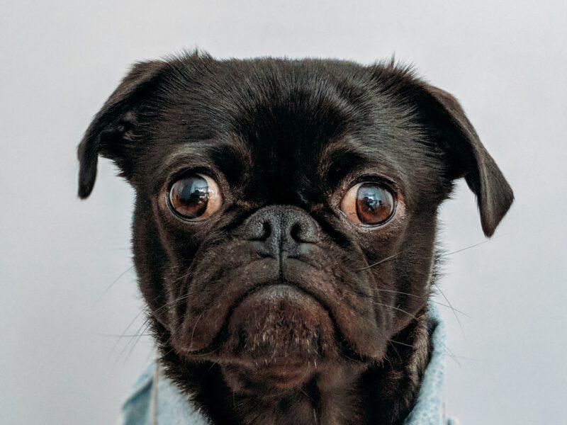 A grumpy face of a dog